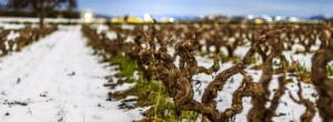 Baco noir : le vin du nord – boisé, rustique et sauvage