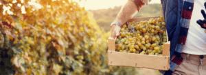 Shiraz Viognier d'Australie : Vin de triomphe pour le vinificateur