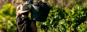 Qu'est-ce qui se passe dans le vignoble?